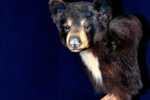 Black_Bear_Mount_#223,__$_550.00