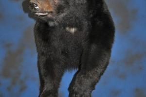 Joe_Lukas_Black_Bear_half_mount