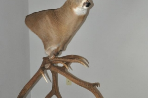 Casey_Bartz_2010_Whitetail_Mount