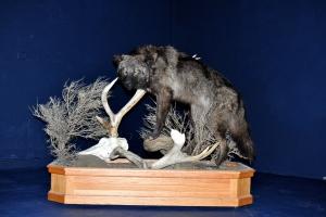 Scott_Sallee's_2009_Montana_Wolf_Mount